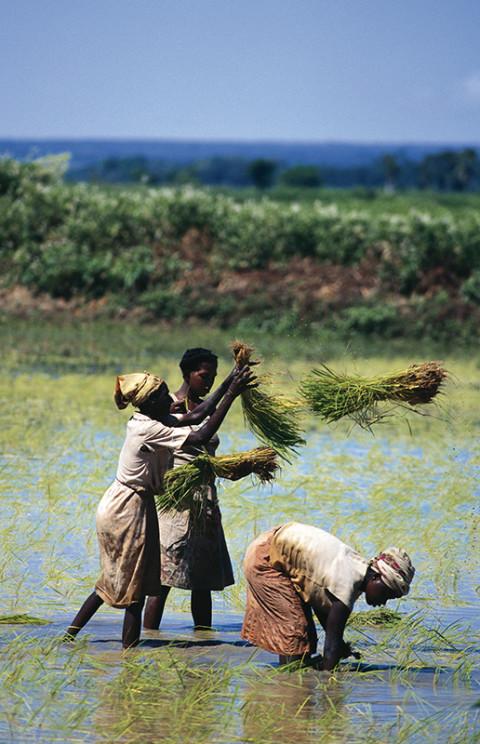 fred bourcier photographe reportage madagascar culture riz femme