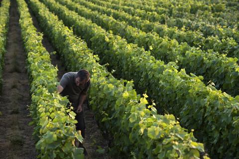 viticulteur des champagnes Legret travaillant dans ses vignes