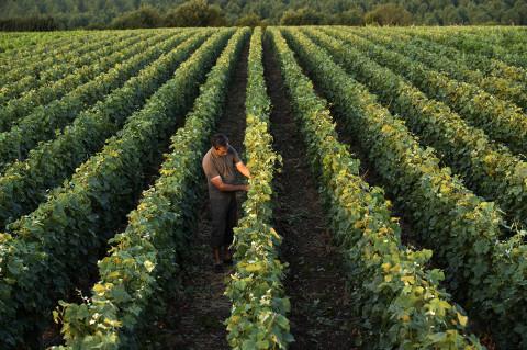 Photo fred bourcier viticulteur travaillant dans ses vignes de champagne maison Legret