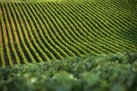 photos vigne de champagne Legret reportage viticole fred bourcier