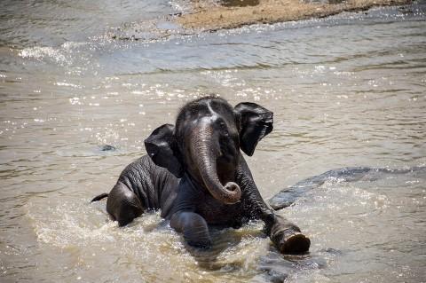 photo fred bourcier bébé éléphanteau baignade rivière srilankaise