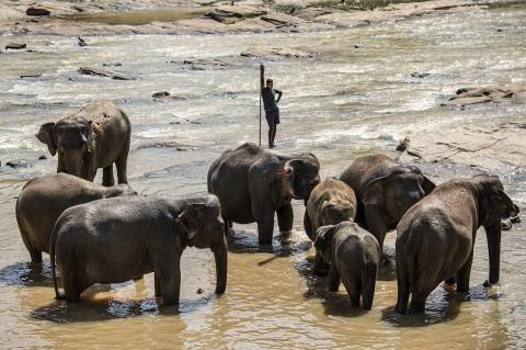 photos reportage bébés éléphants orphelinat baignade tourisme Sri Lanka carnet de route fred bourcier