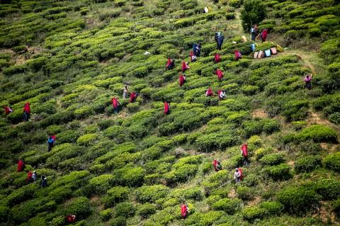 reportage fred bourcier cueillette dans plantation de the région Kandy au sri lanka