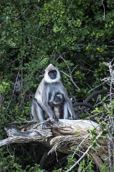 bebe singe et sa maman parc national sri lanka carnet de route fred bourcier